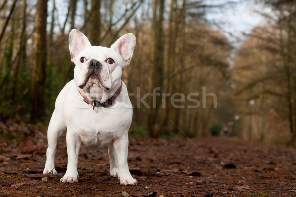 Franse buldog standing in the forest Stock photo © DNF-Style