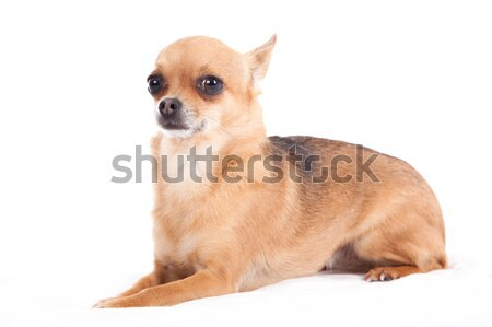 chihuahua laying down Stock photo © DNF-Style