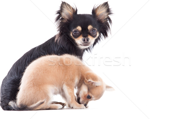 Weet chihuahua dogs Stock photo © DNF-Style