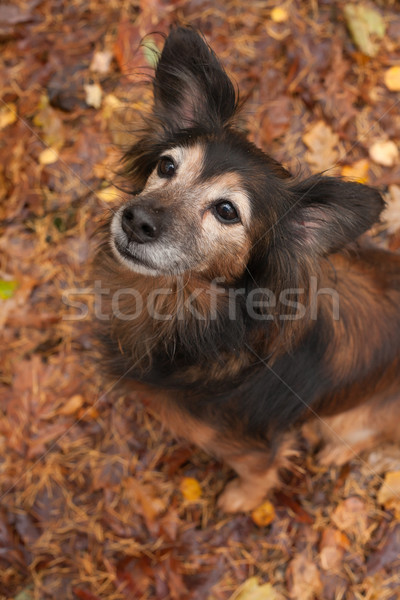 Obedience dog n the autumn Stock photo © DNF-Style