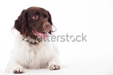 Dutch Partridge Dog lay down Stock photo © DNF-Style