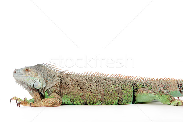 Young iguana in a white studio havingnice time Stock photo © DNF-Style