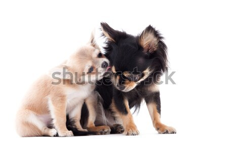2 chihuahua dogs are caring Stock photo © DNF-Style