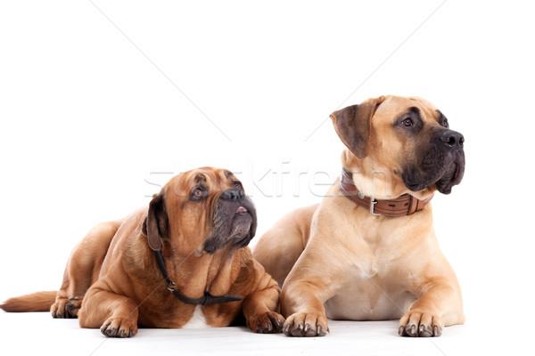 2 Bull mastiff dogs on white Stock photo © DNF-Style