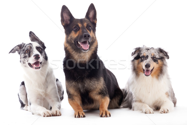 2 dogs  blue merle and sheppard Stock photo © DNF-Style