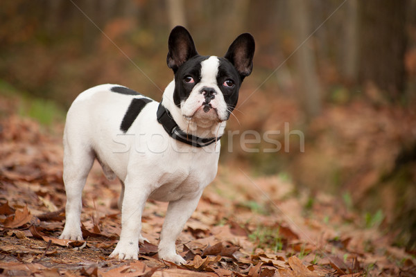 Franse buldog in the autumn Stock photo © DNF-Style