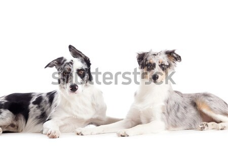 2 shi tzu dogs in the studio Stock photo © DNF-Style