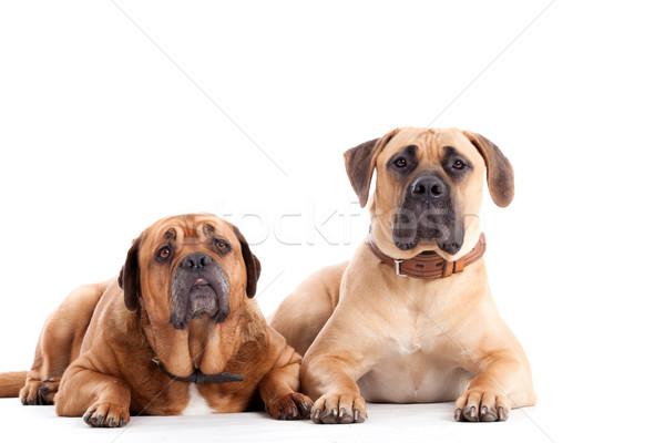 牛 マスチフ 犬 見える 幸せ 犬 ストックフォト © DNF-Style
