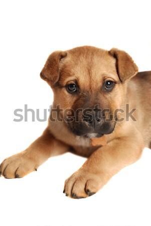 Boxoló kutyakölyök portré fekszik fehér baba Stock fotó © dnsphotography