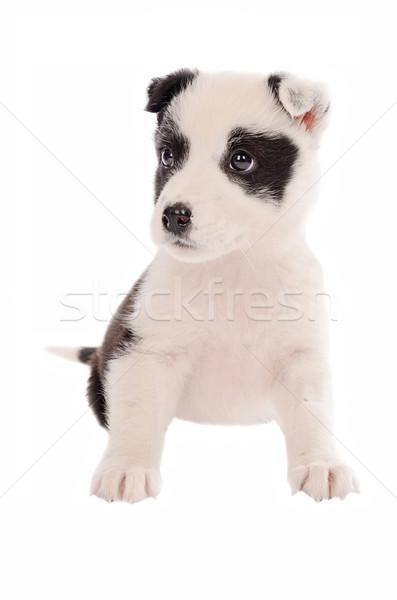 Köpek yavrusu oturma çok güzel border collie beyaz köpek Stok fotoğraf © dnsphotography
