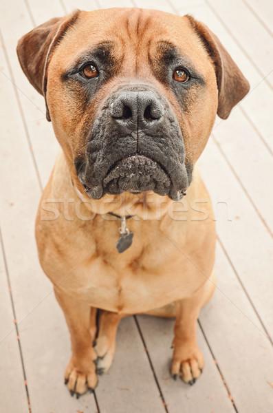 Сток-фото: печально · бык · дог · собака · сидят · патио