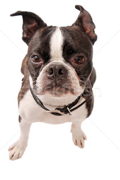 Stock photo: Boston Terrier Dog Close-up