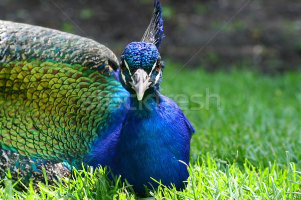 Pavo real hierba brillante aves verde Foto stock © dnsphotography