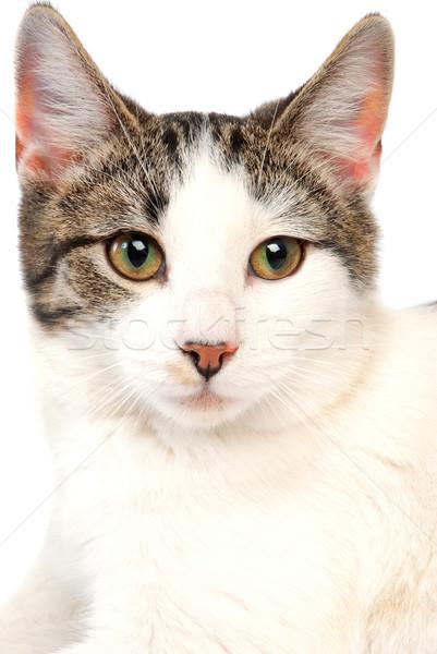 Kedi beyaz gözler genç hayvan Stok fotoğraf © dnsphotography