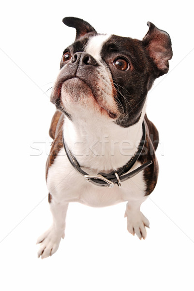 Stock photo: Boston Terrier Dog Looking Up