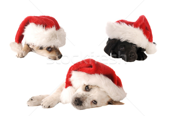 Sombrero Navidad cachorros tres Foto stock © dnsphotography