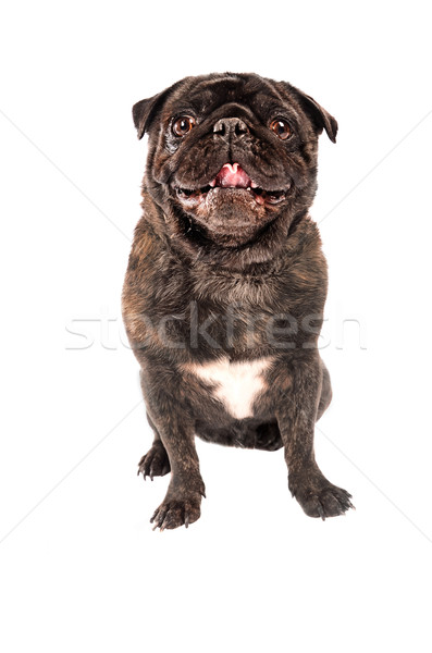 A pug dog on white Stock photo © dnsphotography