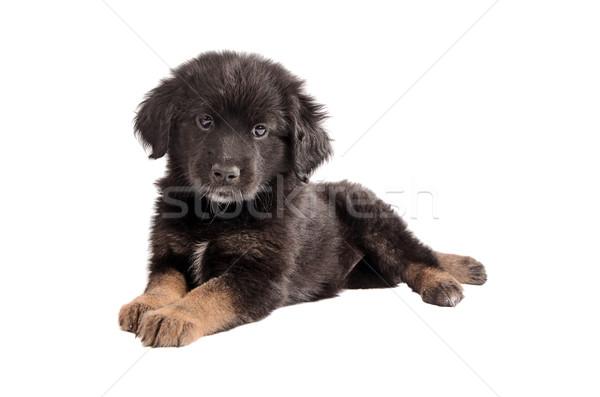 çok güzel siyah kahverengi kabarık köpek yavrusu beyaz Stok fotoğraf © dnsphotography