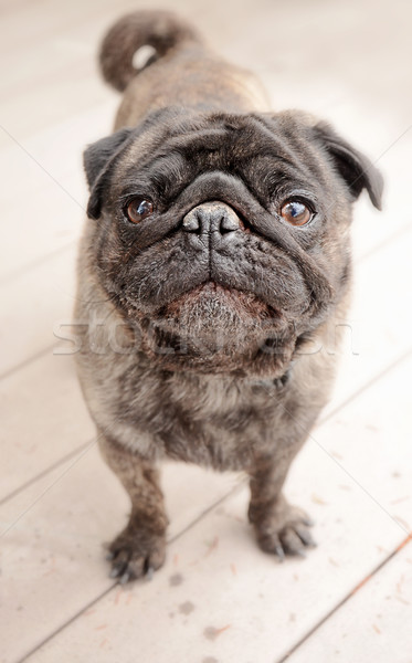 Pug standing outside on a patio Stock photo © dnsphotography
