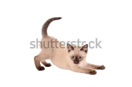 Kedi yavrusu beyaz kedi güzel evcil hayvan Stok fotoğraf © dnsphotography