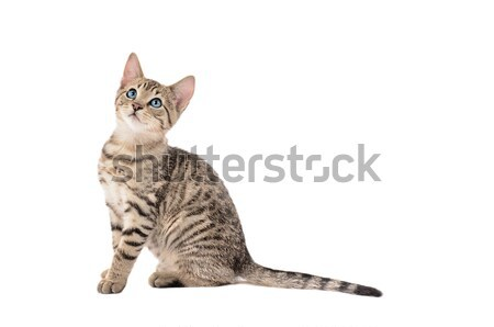 Stock photo: Adorable Tabby Kitten with a Long Tail
