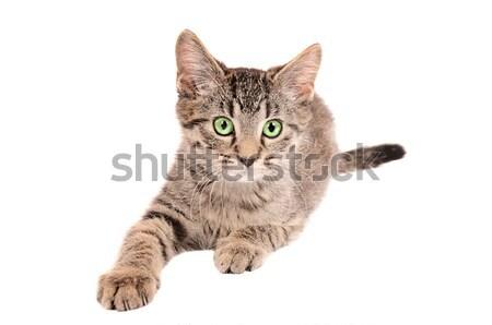 Tabby kitten reaching Stock photo © dnsphotography