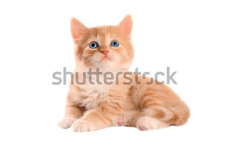 Narancs kiscica kék szemek kék gyömbér fehér Stock fotó © dnsphotography