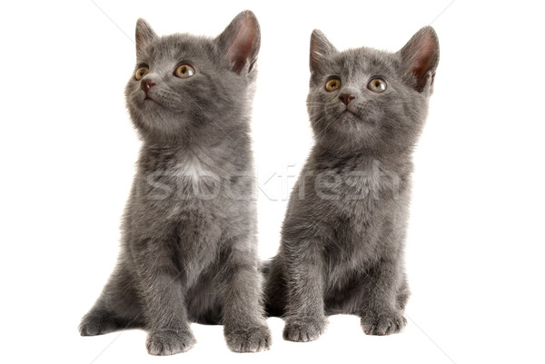 Two Grey Kittens on White Background Stock photo © dnsphotography