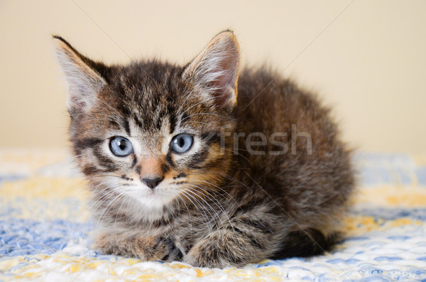 Adorable Tabby Kitten on Blue and Yellow Quilt Stock photo © dnsphotography
