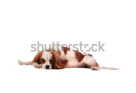 Rey cachorro blanco boca jóvenes Foto stock © dnsphotography