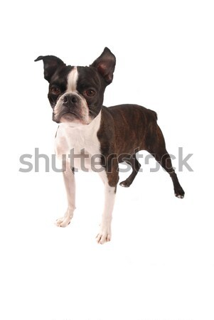 Brindle and White Boston Terrier Standing Stock photo © dnsphotography