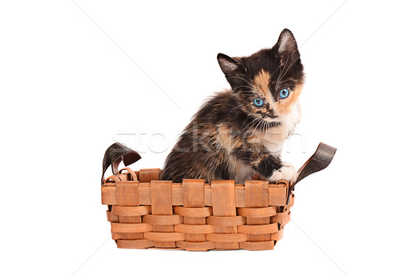 Calico Kitten in a Basket Stock photo © dnsphotography