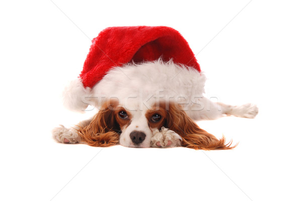 Cavalier King Charles Spaniel in a Santa Hat Stock photo © dnsphotography
