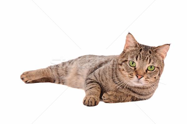 Poważny patrząc kot biały zielone oczy Zdjęcia stock © dnsphotography