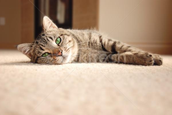 Tabby Kitten relaxing on carpet Stock photo © dnsphotography