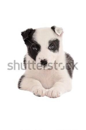 Juhászkutya kutyakölyök feketefehér fehér fekete díszállatok Stock fotó © dnsphotography