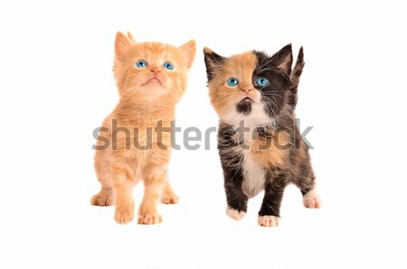 A Calico and Orange Tabby Kitten Stock photo © dnsphotography