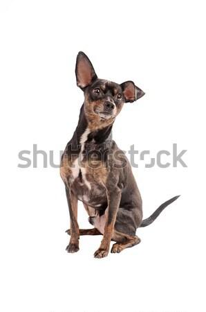 Köpek oturma beyaz siyah kahverengi genç Stok fotoğraf © dnsphotography