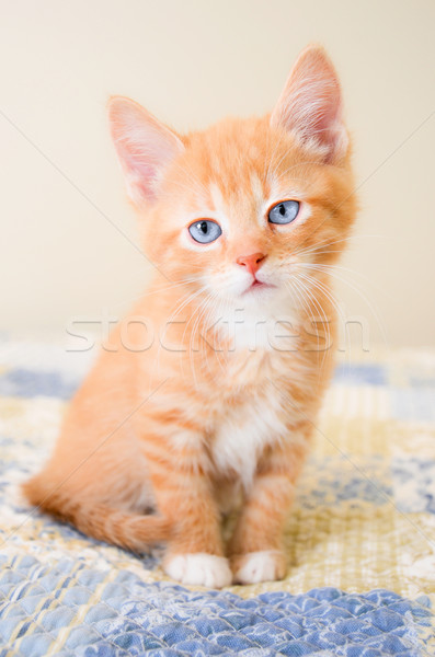 Cute orange kitten sitting on a blue and yellow quilt Stock photo © dnsphotography