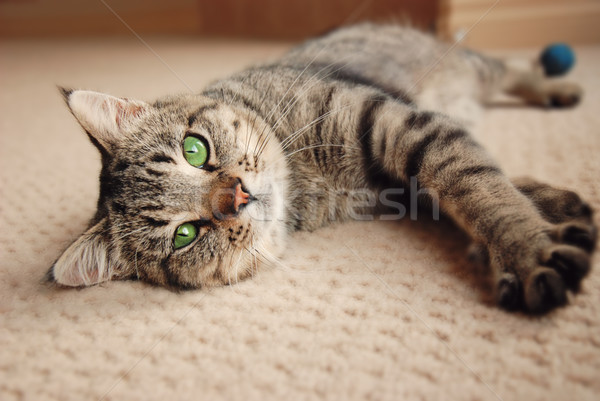Kitten stretched out on carpet Stock photo © dnsphotography