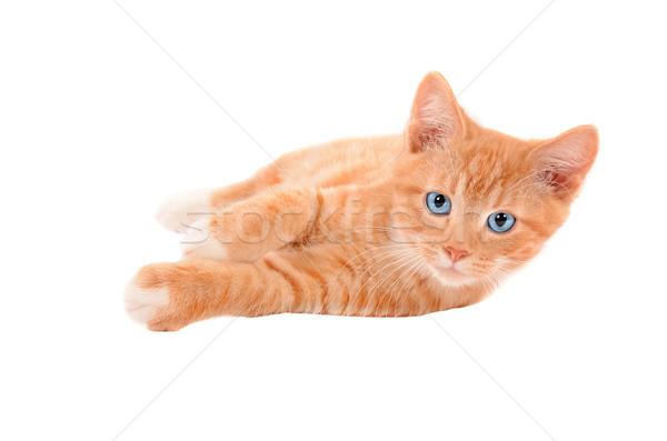 Zencefil kedi yavrusu beyaz turuncu kedi Stok fotoğraf © dnsphotography