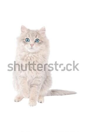 Imádnivaló fehér kiscica kék szemek aranyos hosszú hajú Stock fotó © dnsphotography