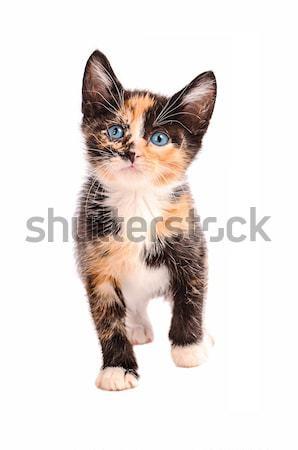 Adorável gato gatinho olhos azuis em pé branco Foto stock © dnsphotography