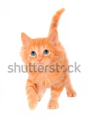 Cute naranja gatito mullido jengibre ojos azules Foto stock © dnsphotography