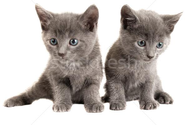 Kék szürke kiscicák fehér kettő szürke Stock fotó © dnsphotography