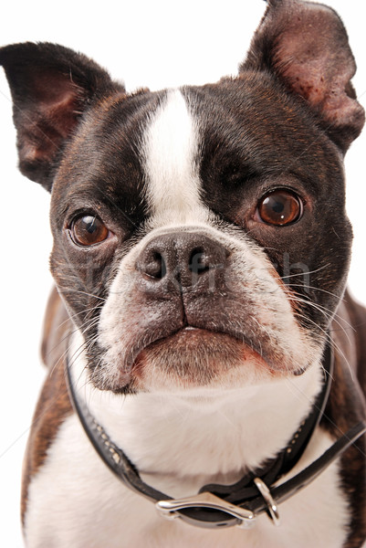 Boston terrier chien visage coup Photo stock © dnsphotography