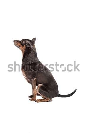 Perro sesión blanco cute negro jóvenes Foto stock © dnsphotography