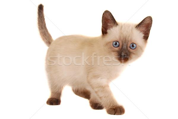 Cute Siamese Kitten on White Stock photo © dnsphotography