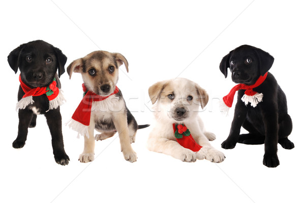 Puppies in Christmas Holiday Scarves Stock photo © dnsphotography