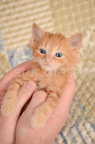 Narancs kiscica kezek gyömbér kék fiatal Stock fotó © dnsphotography
